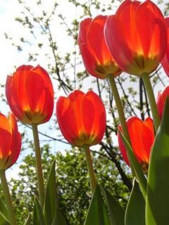 Тюльпаны моя тема