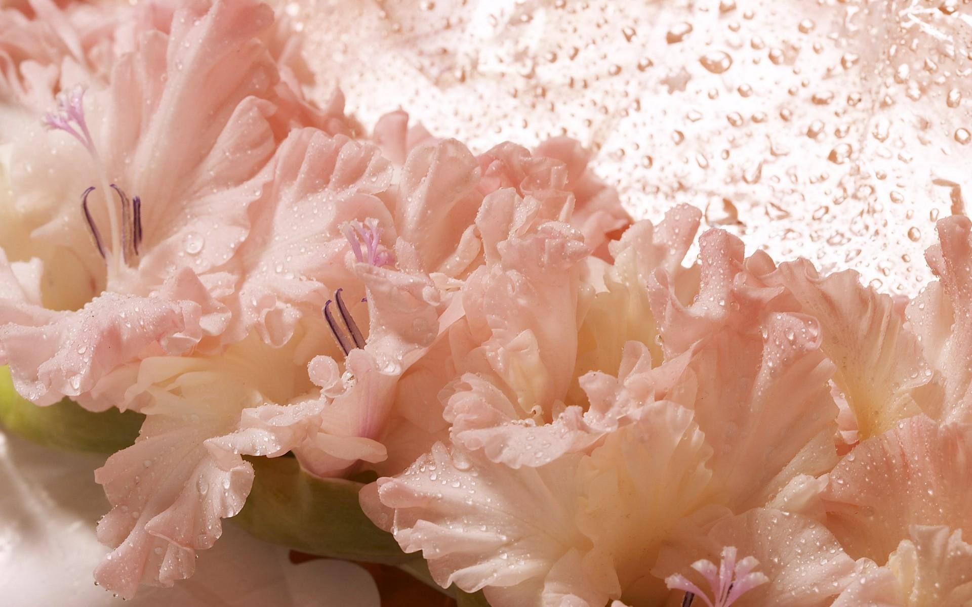 Обои на рабочий стол цветы гладиолусы