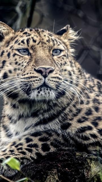картинки на телефон леопард № 160326 загрузить