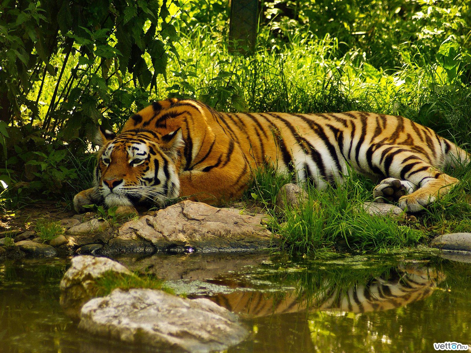 Тигр 1600 x 1200