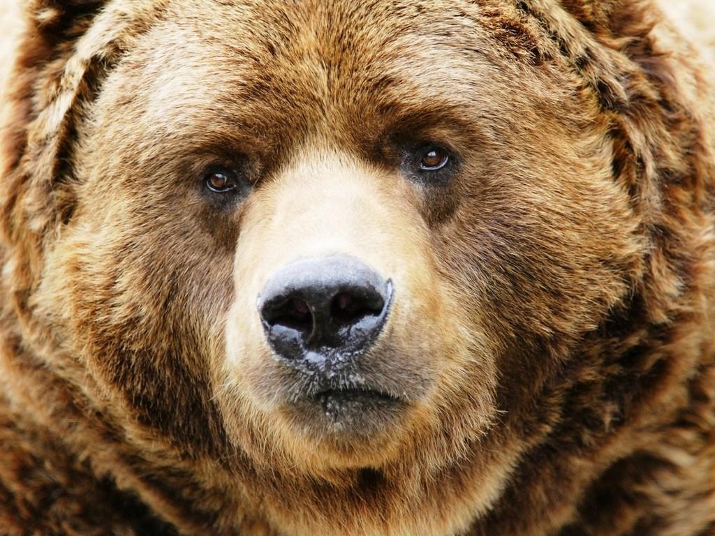 обои для рабочего стола медведи: