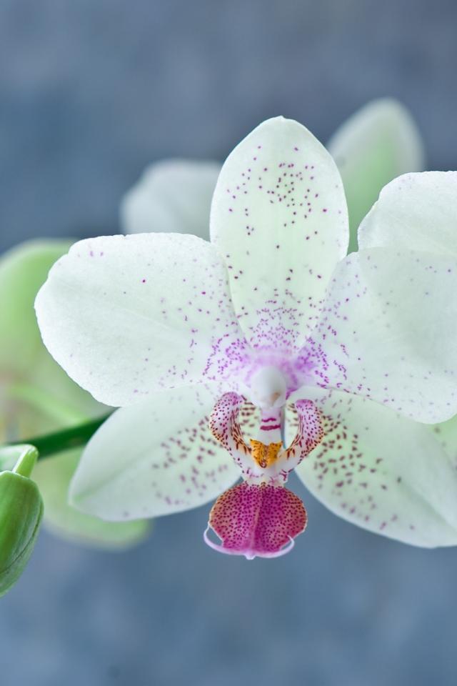 успеваю сказать орхидея фаленопсисобои для айфон 5с того, этот парфюм