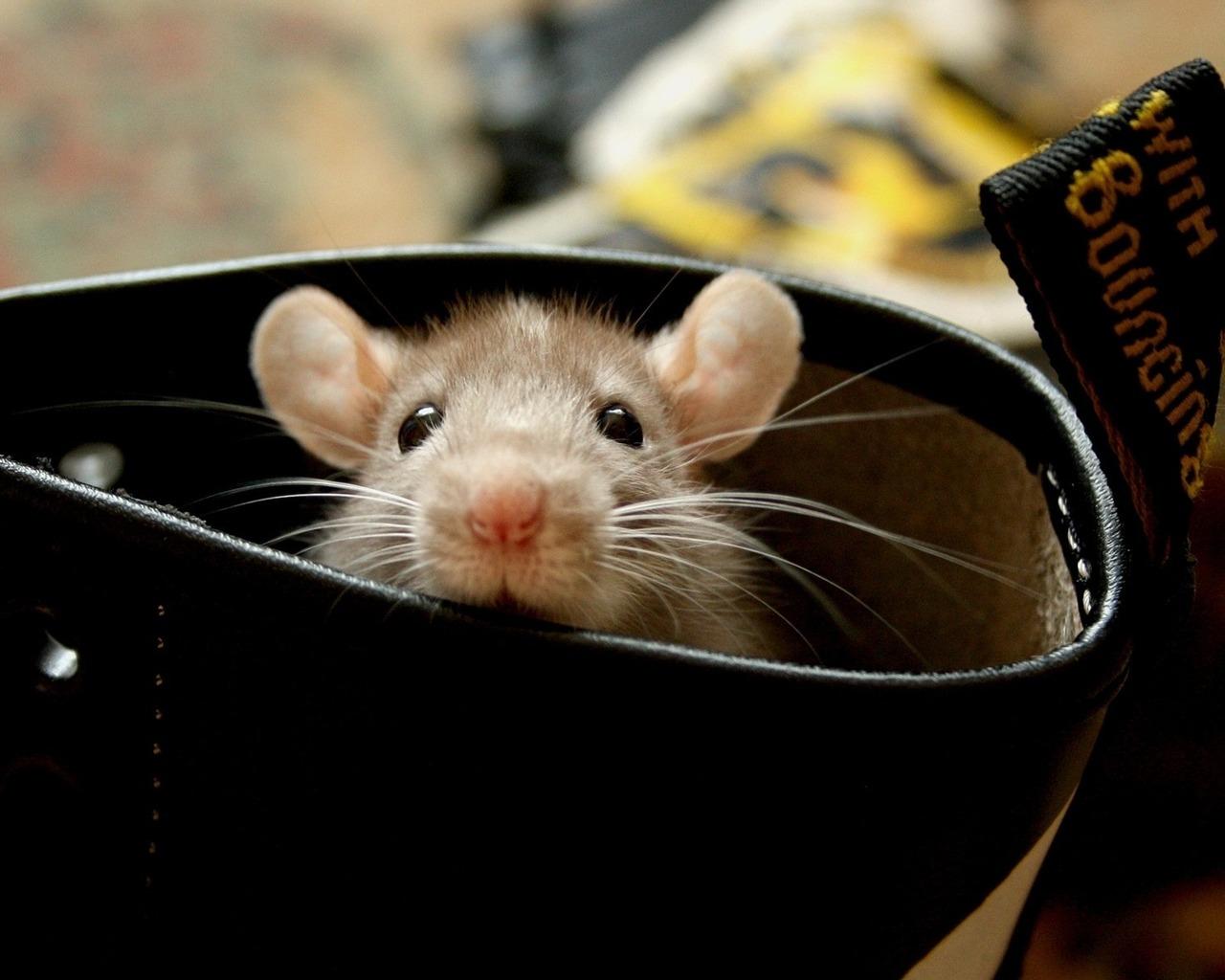 cute rat wallpaper art - photo #5