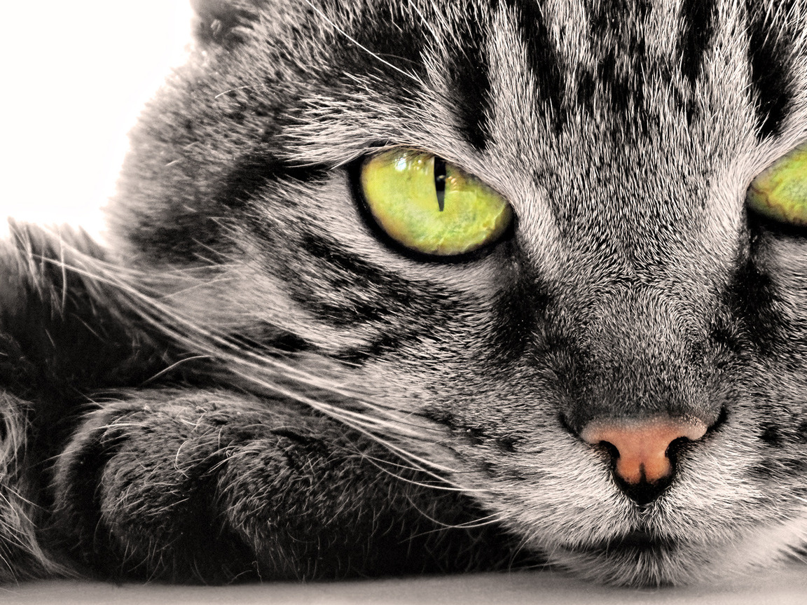 Кошка обои на рабочий стол 1152x864 №754633