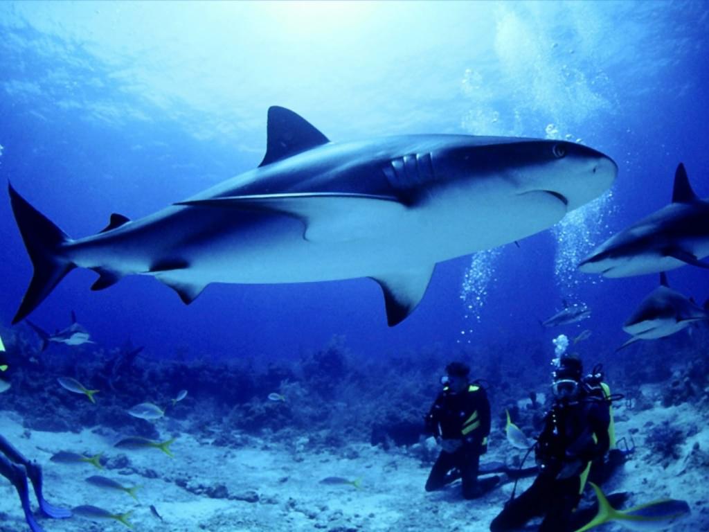 скачать картинки белой акулы