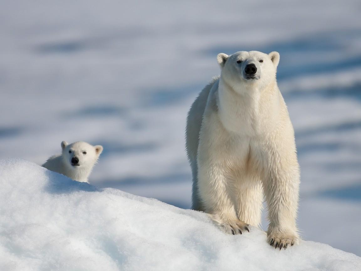 Белые медведи 1152 x 864