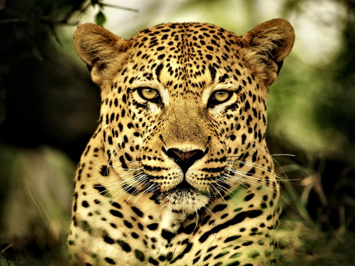 леопард рисунок: