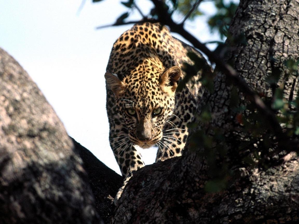 HD Шпалери Леопард, погляд, полюванн…
