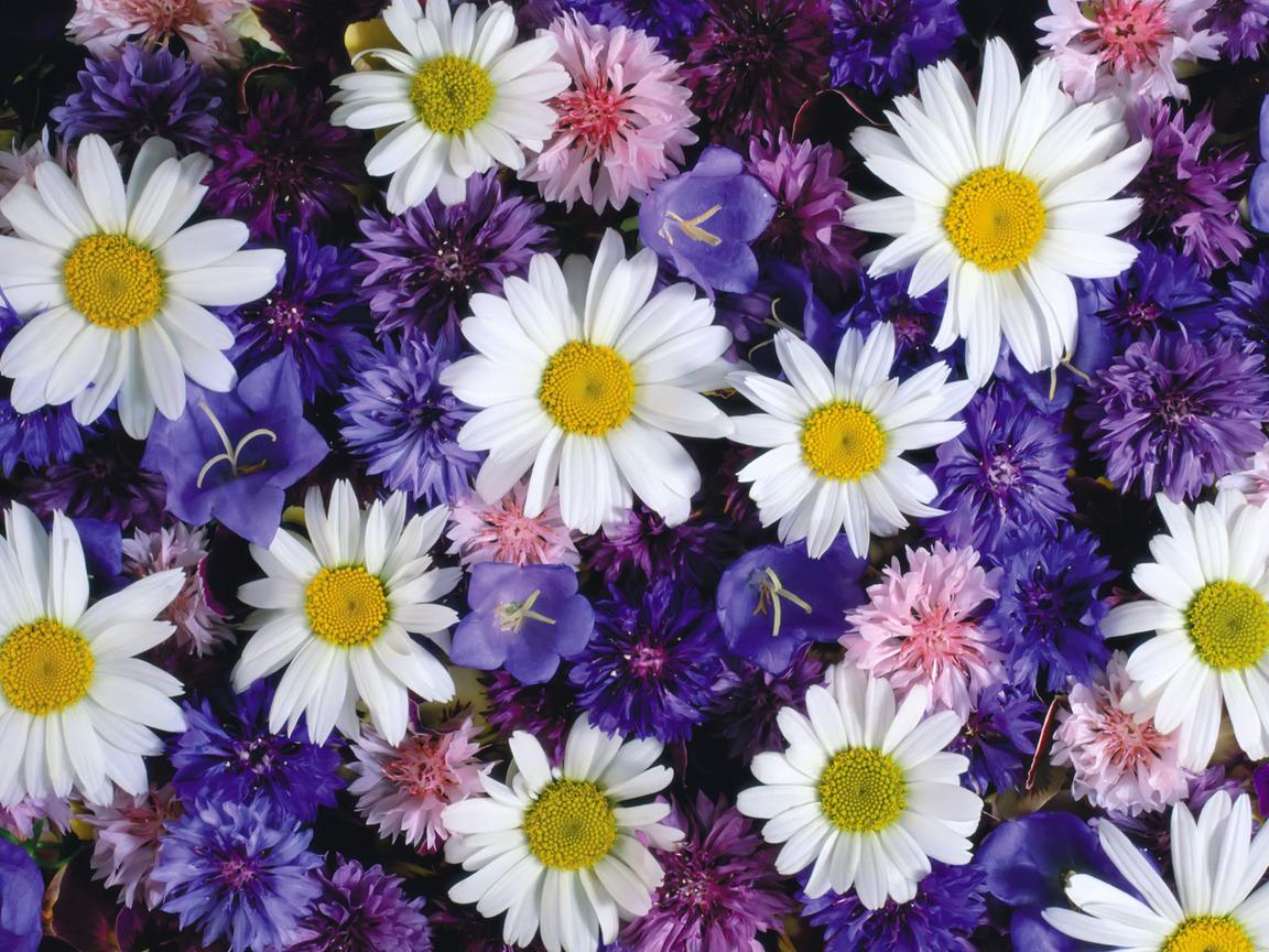 Полевые цветы 1152 x 864