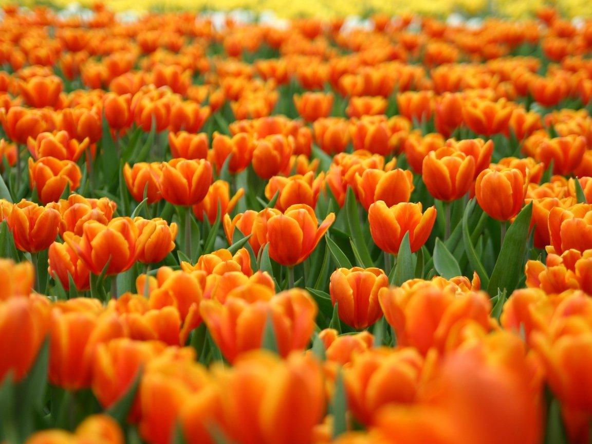 Тюльпаны 1152 x 864