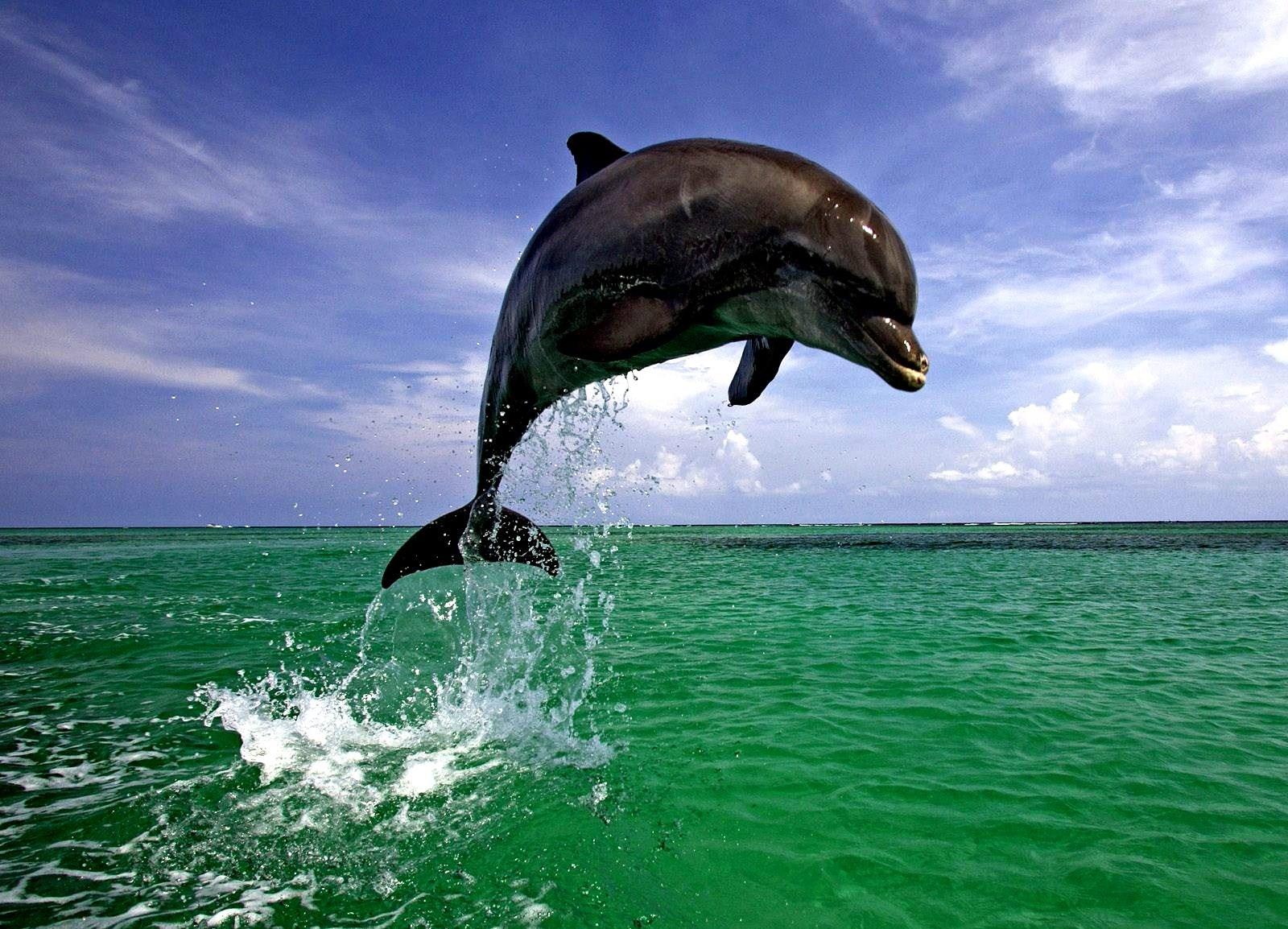 Дельфин в прыжке 1600 x 1154...