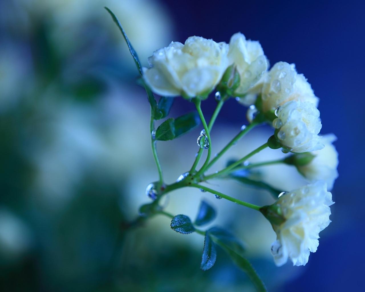 Белые розы обои на рабочий стол 1280x1024