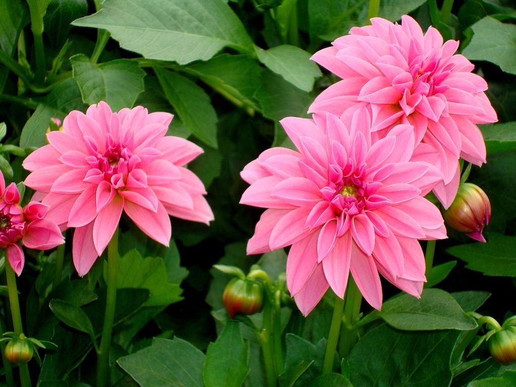 Цветы георгины картинки 6