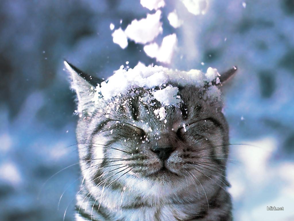 Снежные коты в предвкушении Нового года (6 фото) .