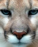 Картинки пума, кошка, хищник бесплатно на рабочий стол.  1280x1024