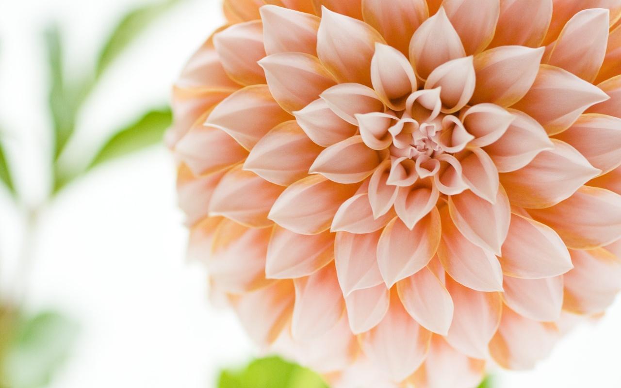 Великолепнейшая красота красивых цветов, с благородным именем Георгины.