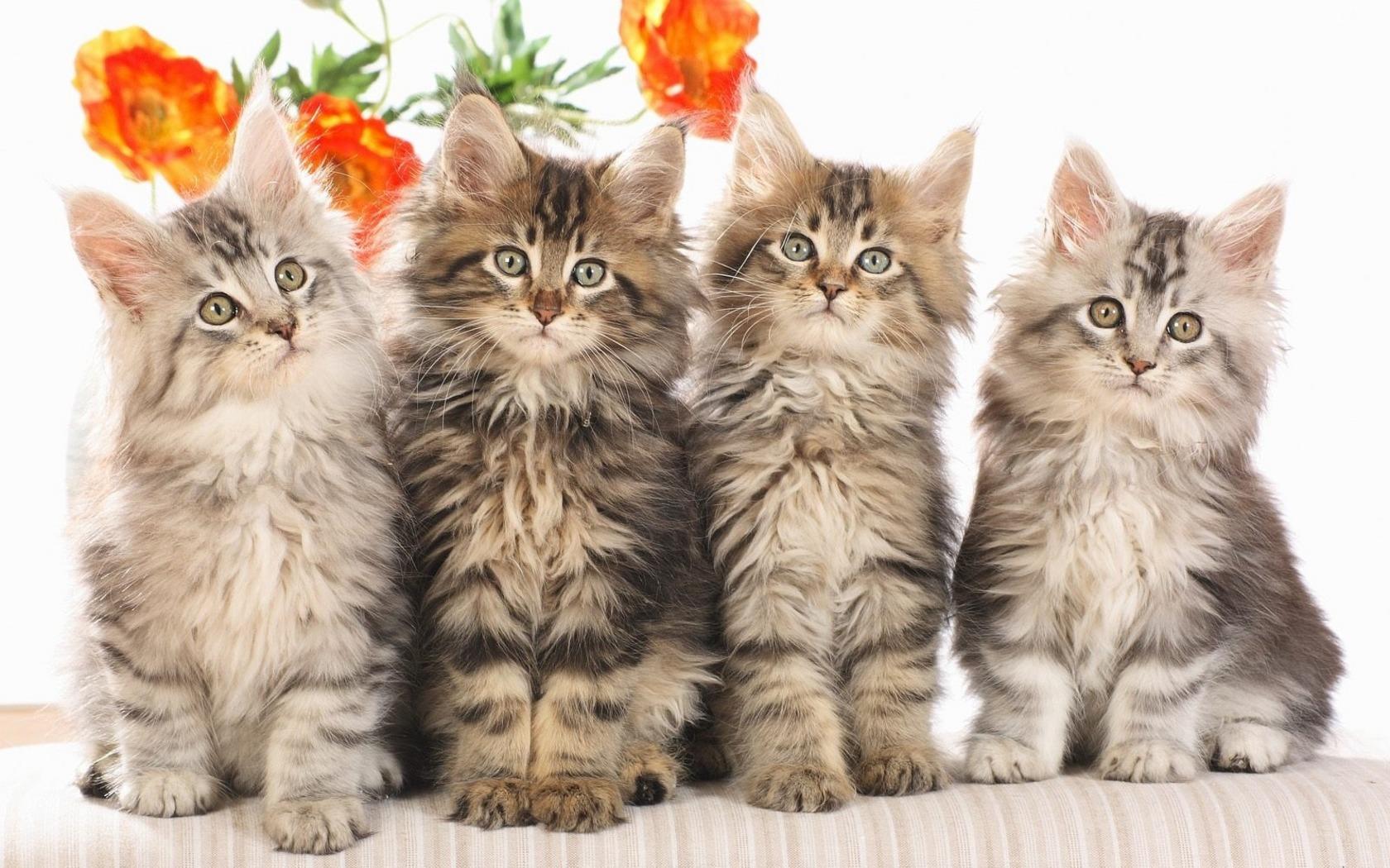 Кошки 1680 x 1050
