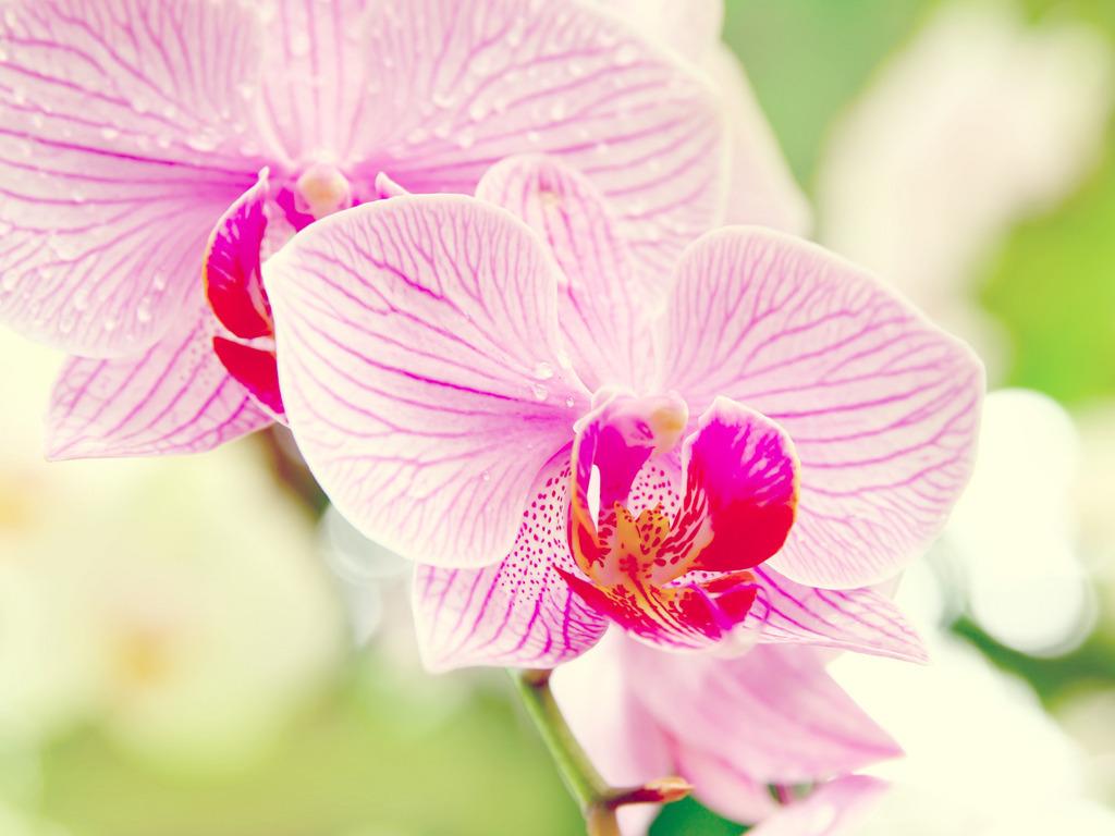 Орхидеи 1024 x 768