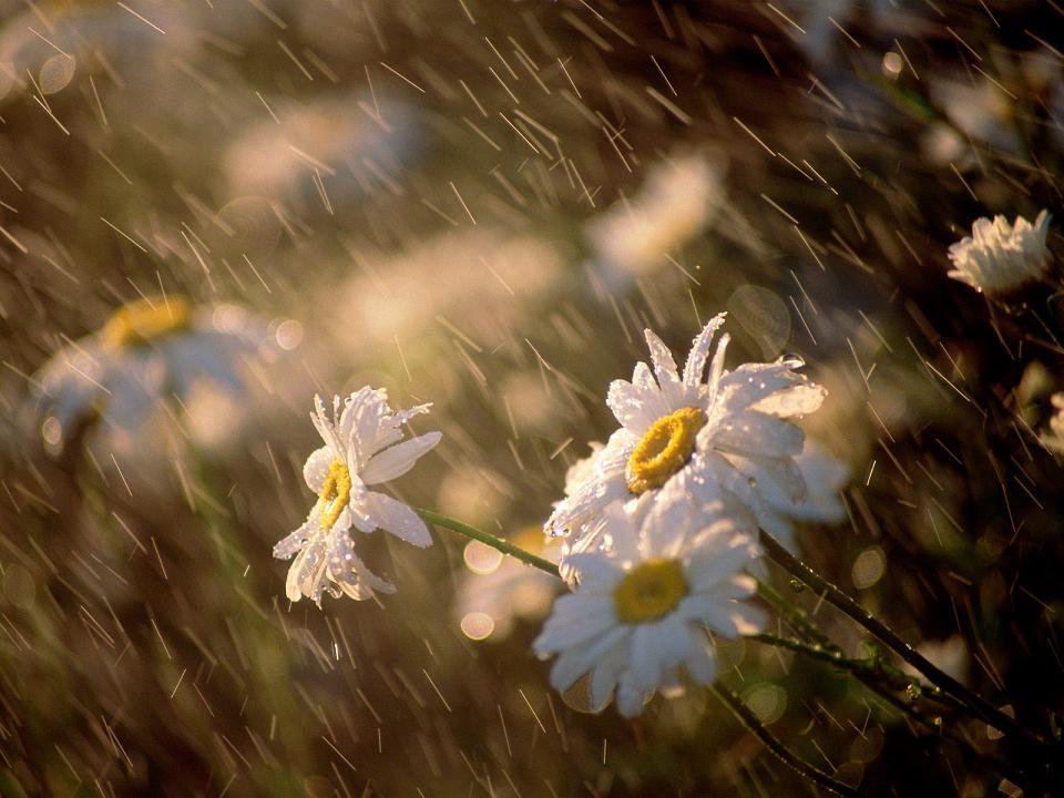 Картинки цветы и дождь 4