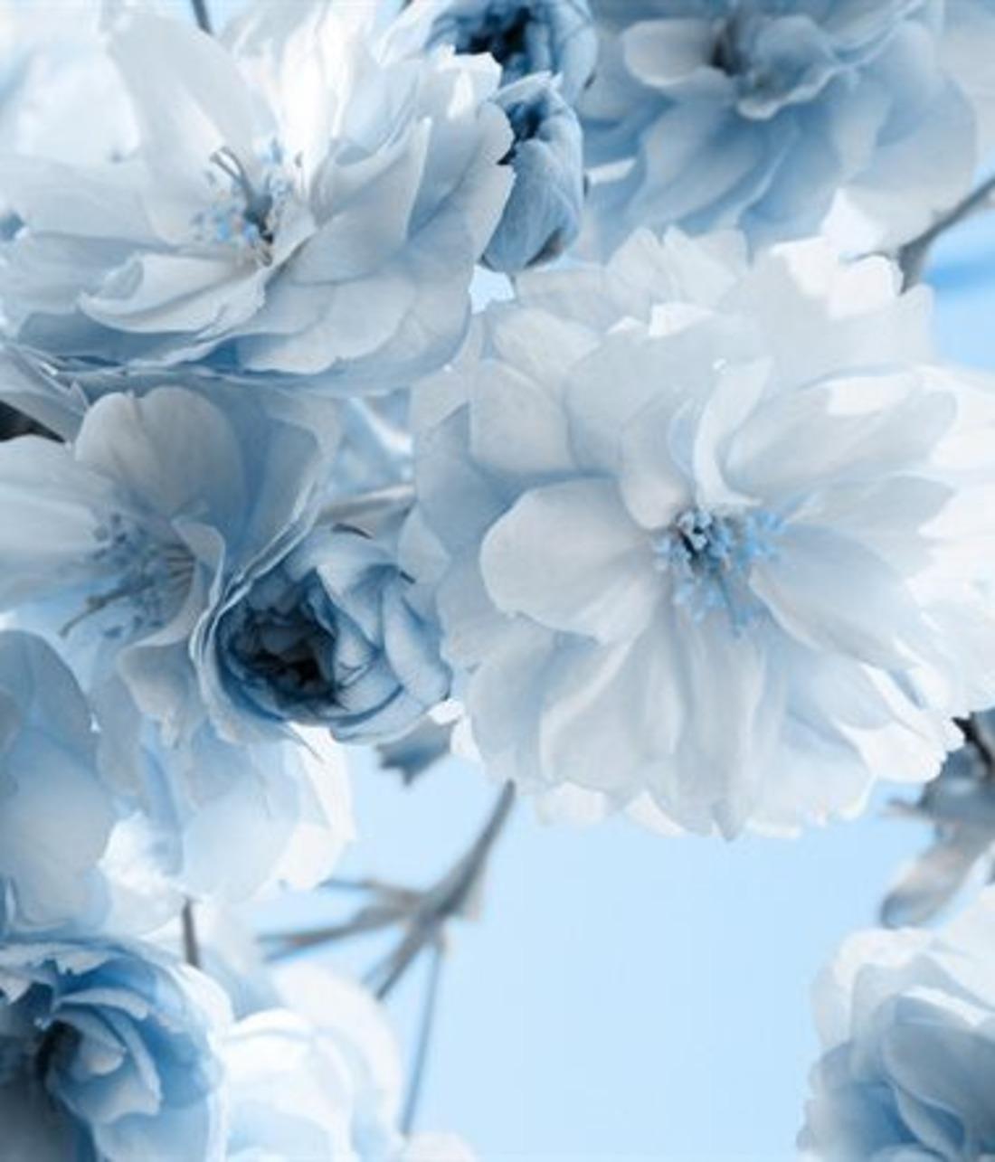 Голубые цветы фото обои