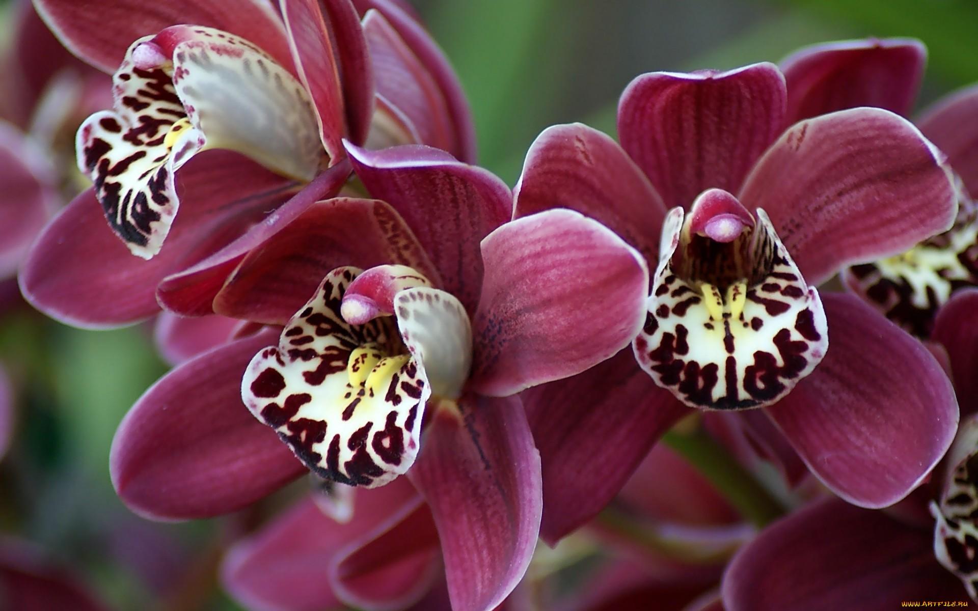 орхидо фото