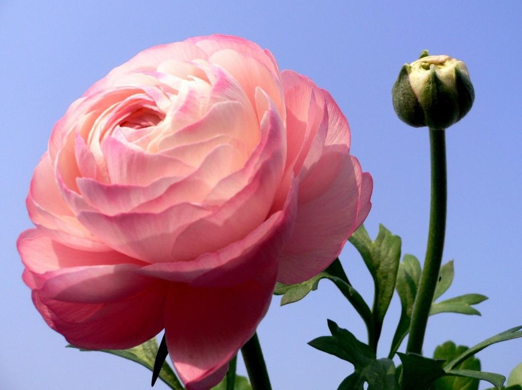 Цветок лютик картинка 5