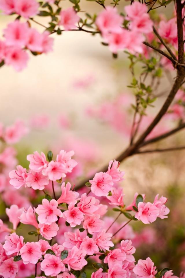 Cherry blossom dating app