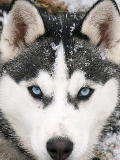 """Скачать картинку 480x800  """"Husky Dog """" - Животные для мобильного телефона..."""
