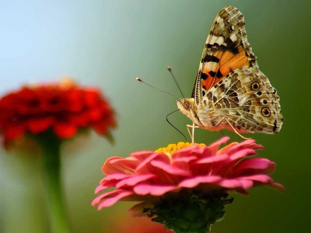 Бабочка на цветке 1024 x 768