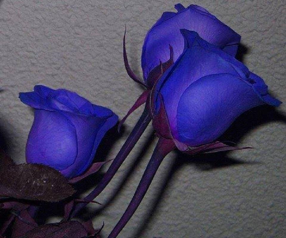 Картинки синие розы букеты - 038