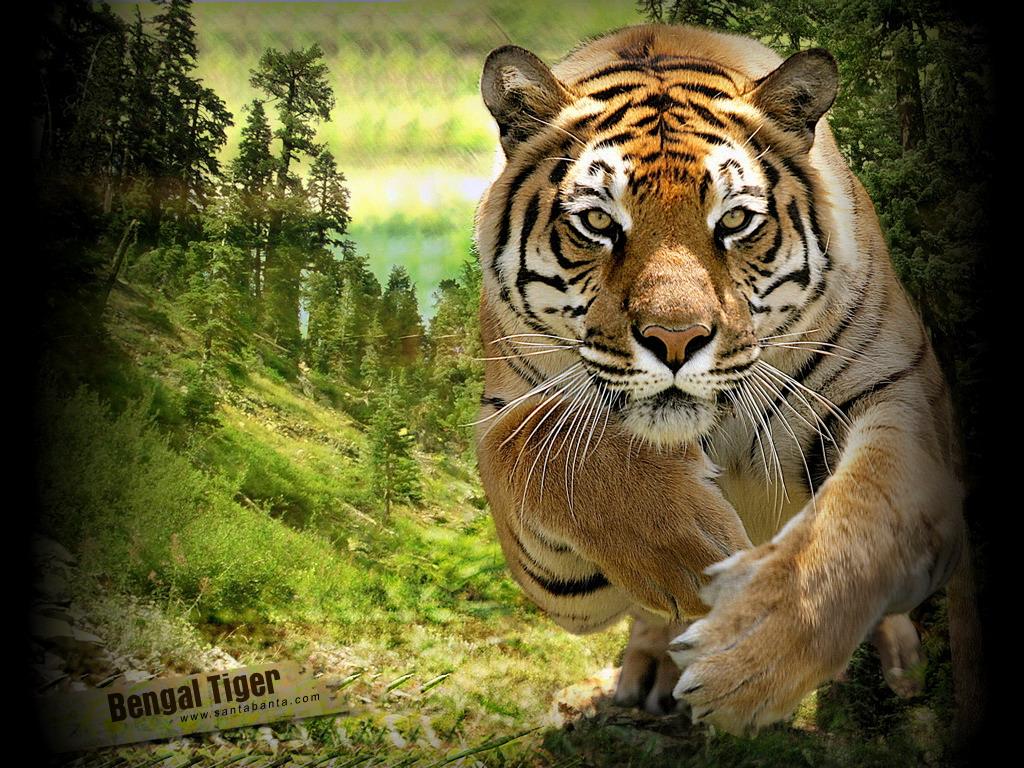 Тигр 1024 x 768
