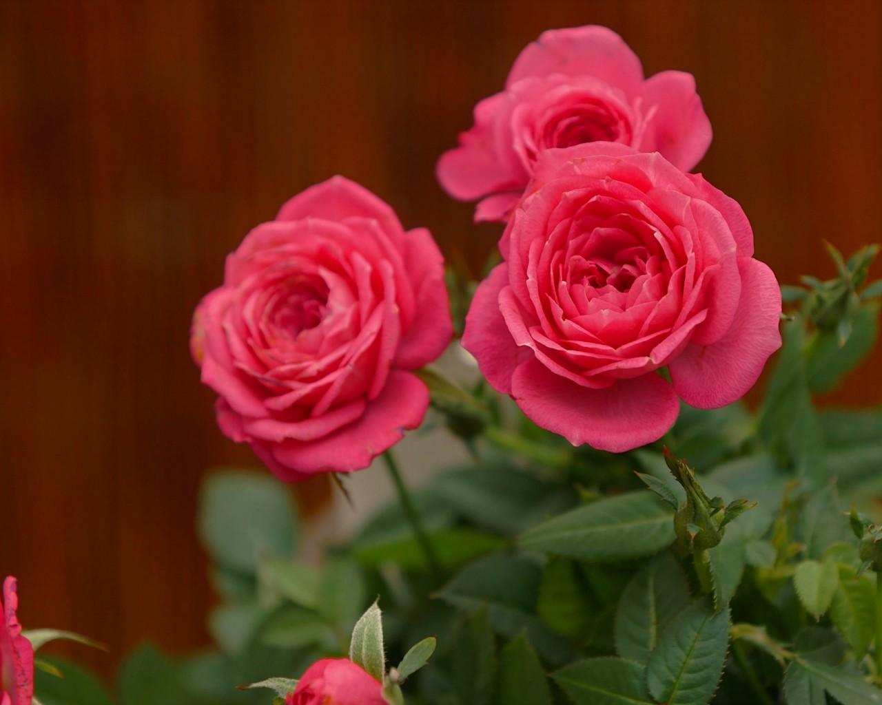 Обои розы на рабочий стол широкоформатные - 41716