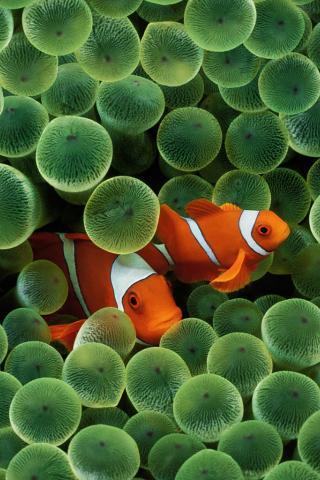 Рыба-клоун - Обои для iPhone.