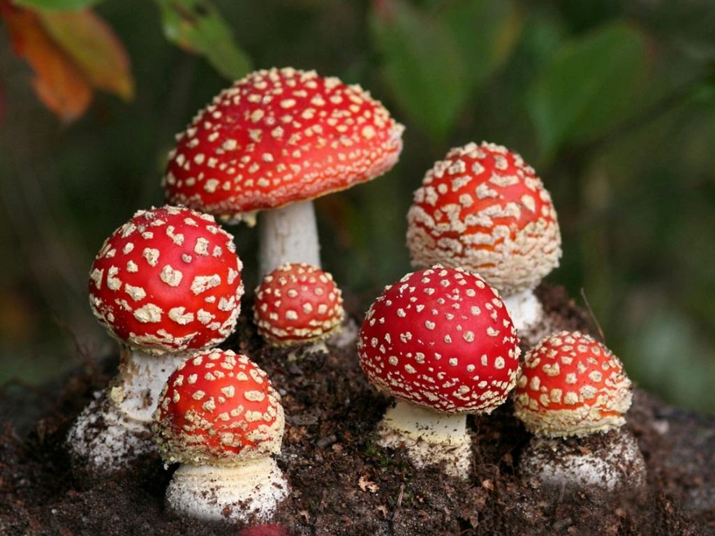 фотообои на рабочий стол грибы: