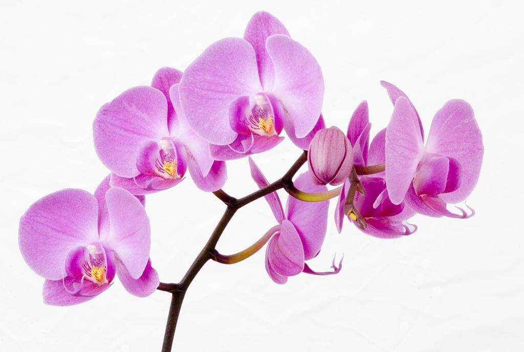 Картинки цветов архидей 1