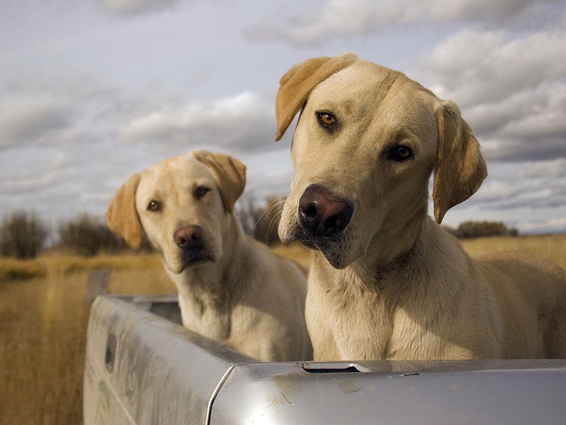 Собаки 1152 x 864