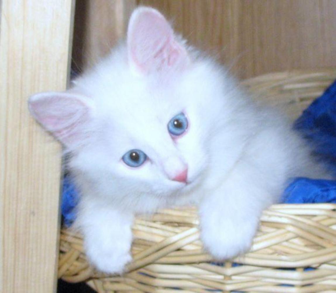 Фото сибирская ангора котят 4