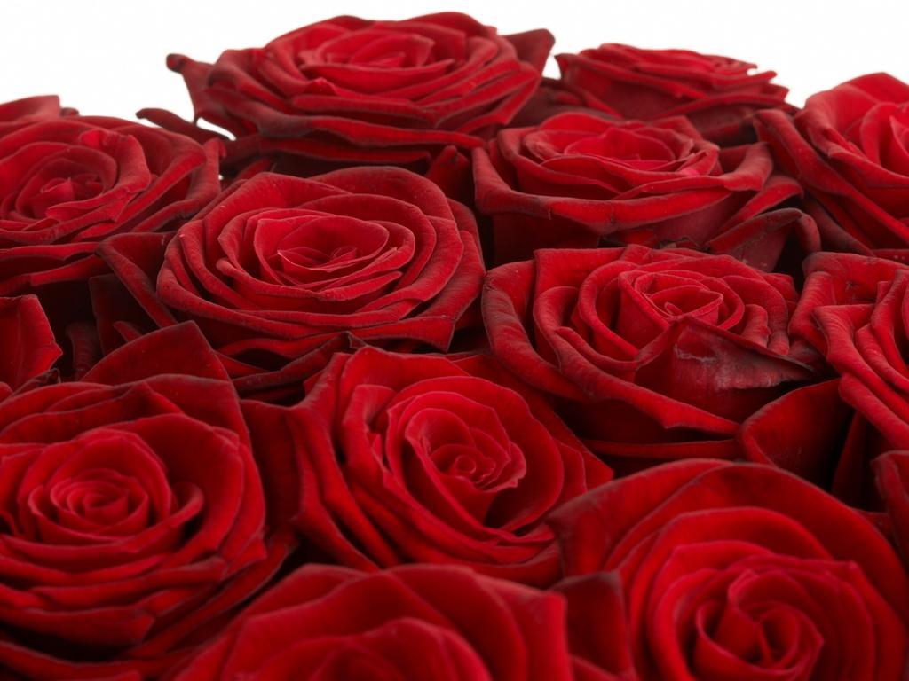 Обои розы на рабочий стол широкоформатные - 2778