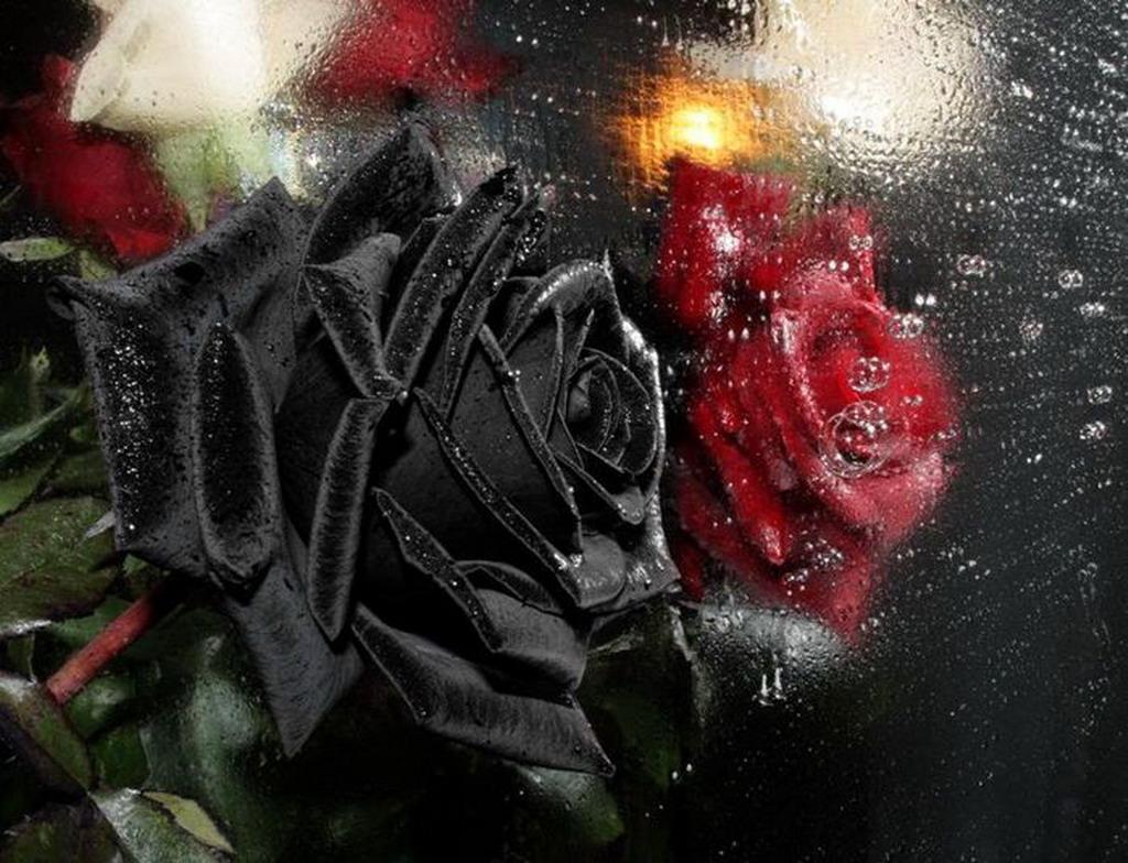 Фристайл черные и красные розы 4
