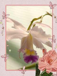 Роскошь орхидей(Talochka) Флеш-24 картинки,смена каждый час