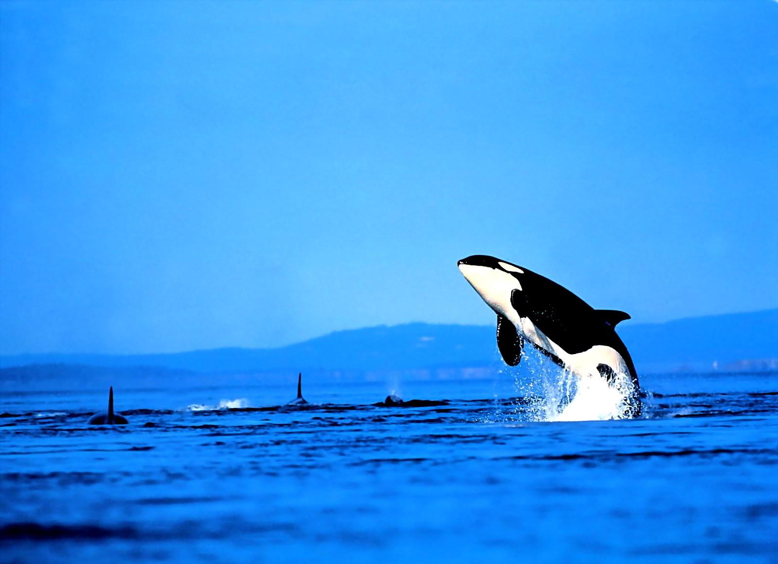 картинки для рабочего стола дельфины: