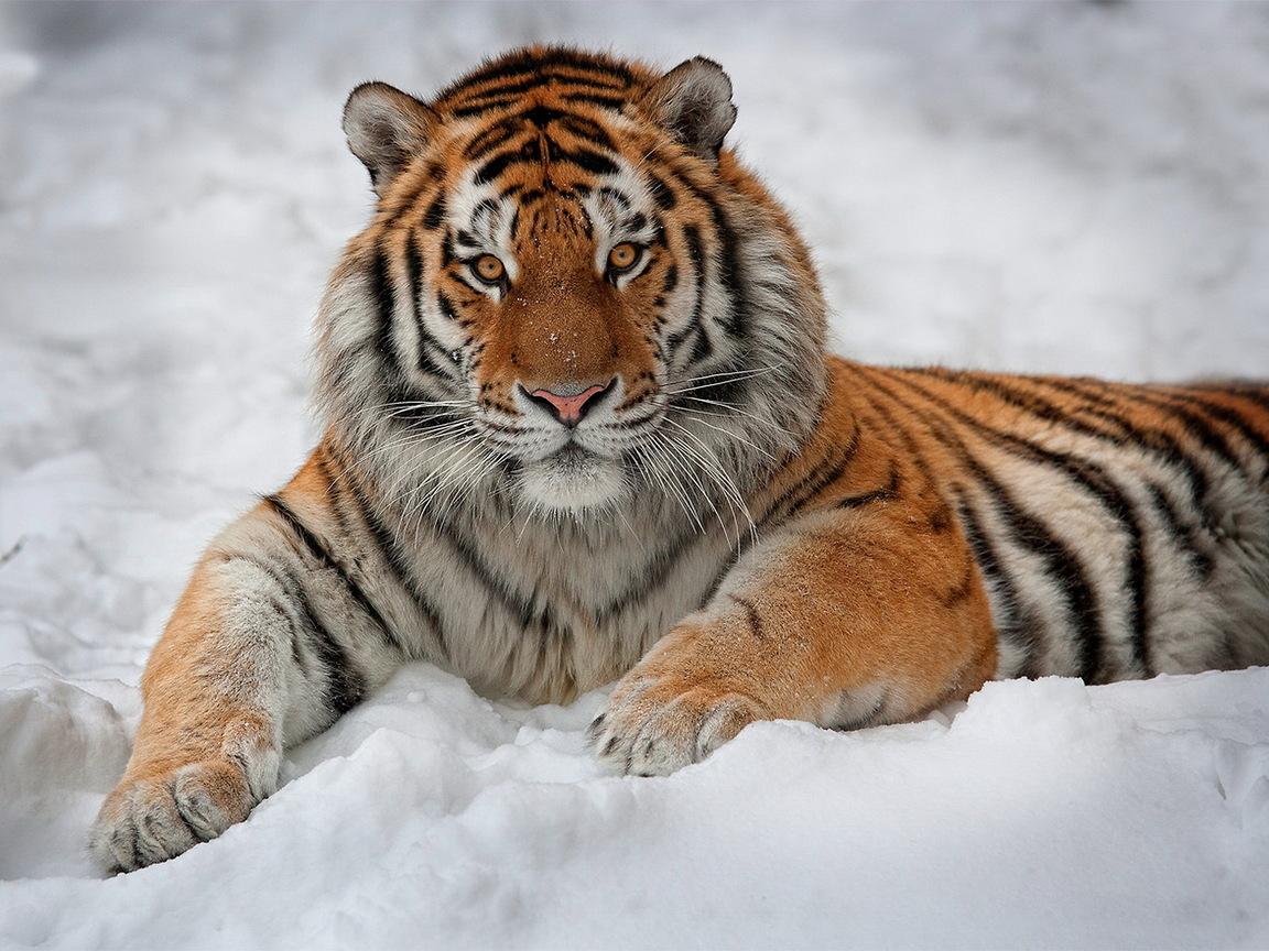 Тигр 1152 x 864