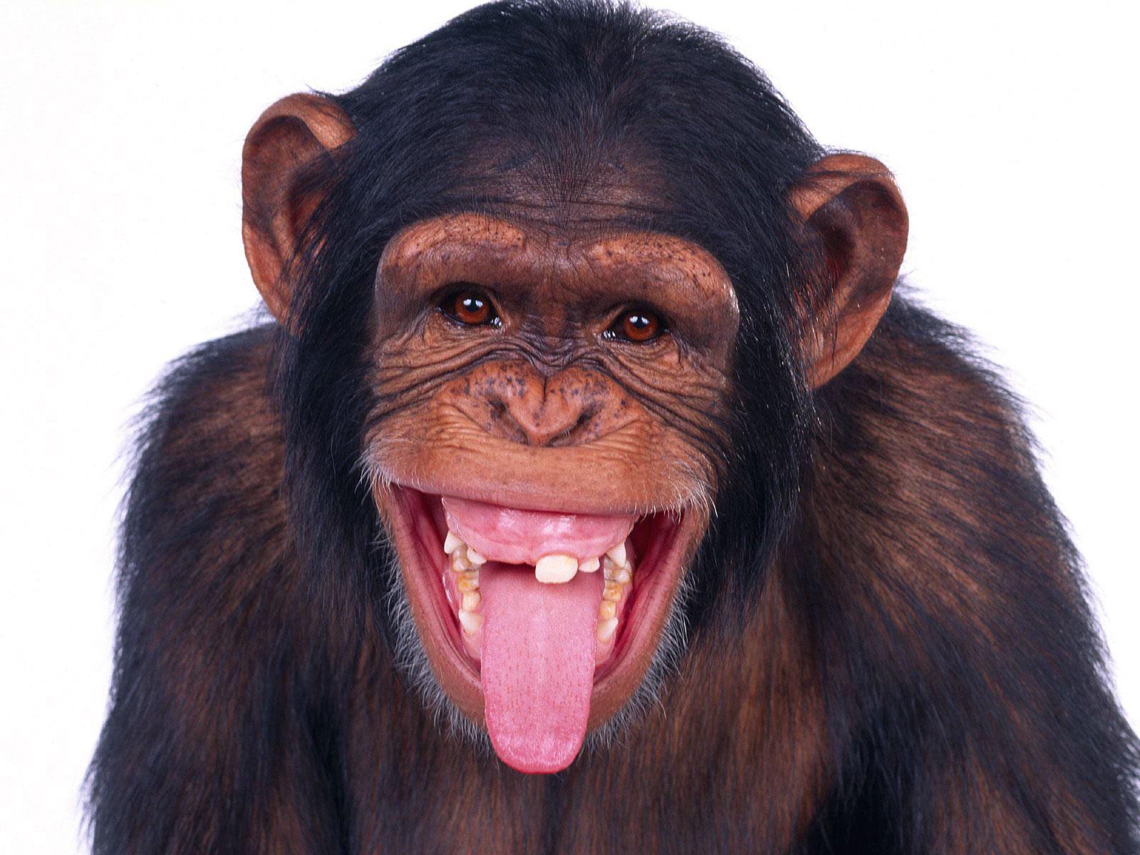 картинки на рабочий стол прикольные обезьяны