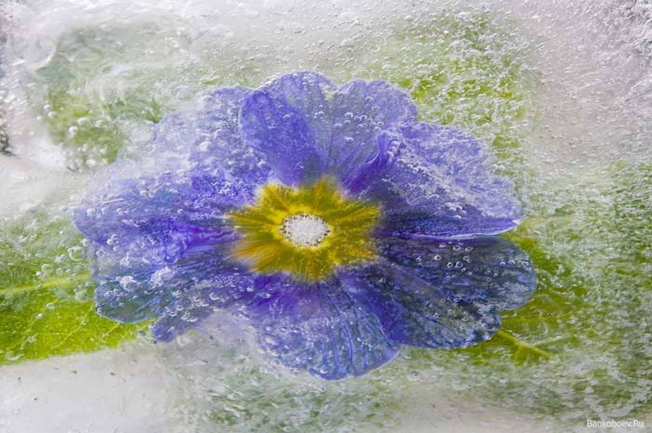 цветы во льду фото: