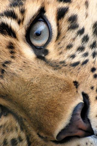 картинки на телефон леопард № 160358 бесплатно