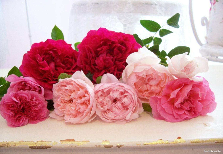 Розы и пионы 1500 x 1032
