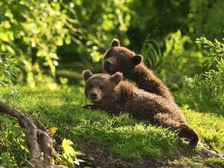 Медвежата обои на рабочий стол 1152x864