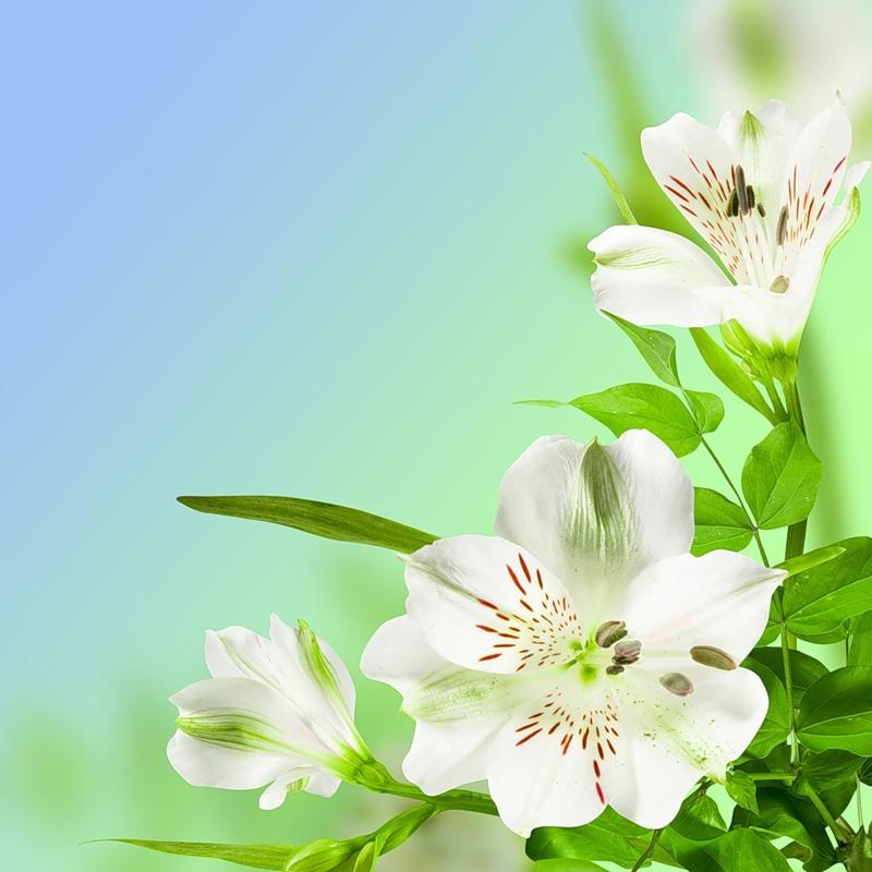 Картинки на телефон цветы лилии 1