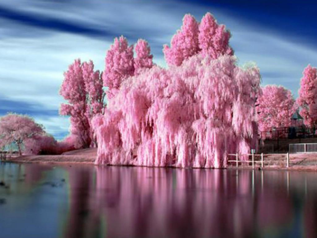 Человек, живший у края пустыни, посадил в своём саду молодой розовый