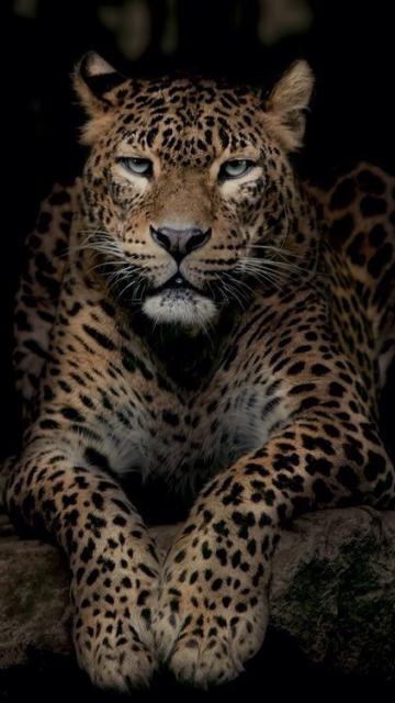 картинки на телефон леопард № 160318 бесплатно